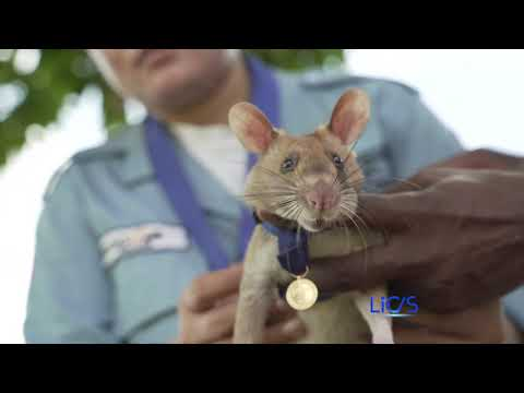Bravery medal awarded to landmine detecting rat   Catholic News in Asia   LiCAS.news   Licas News