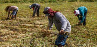 Philippine farmers harvesting rice   Licas News
